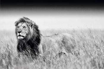 Lion - Black & White Plakat