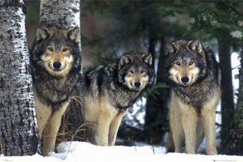 Wolves - 3 wolves Plakát