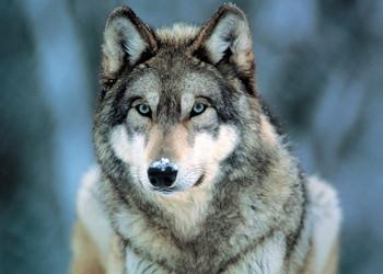 Plakát Grey wolf - vlk šedý