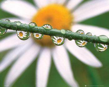 Květiny - sedmikráska plakát, obraz