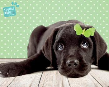 Plakát Studio Pets - Lucky Lab