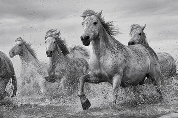Paarden - Camargue Horses Poster