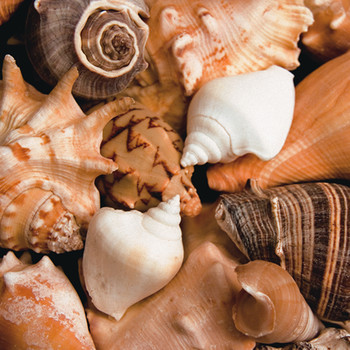 BEACHSIDE SHELLS Reproducere
