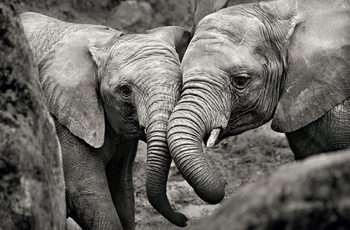 Elephant - Mother and Cub Poster