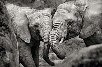 Poster Elefant - Baby