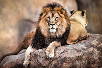 Poster Löwe - King of the Pride