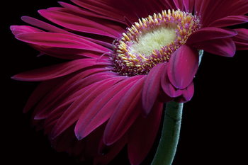 Tablouri pe sticla Gerbera - Purple