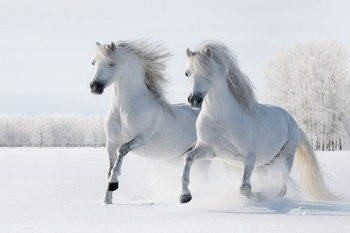 Tablouri pe sticla Horses - Two White Horses