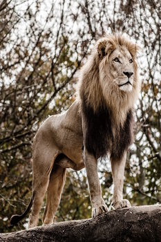 Tablouri pe sticla Lion - King of Animals
