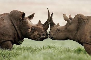 Tablouri pe sticla Rhino - Love