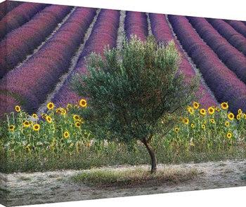 Vászon Plakát David Clapp - Olive Tree in Provence, France