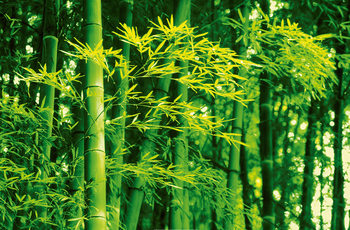 DAVE BRÜLLMANN - bamboo in spring XXL plakat
