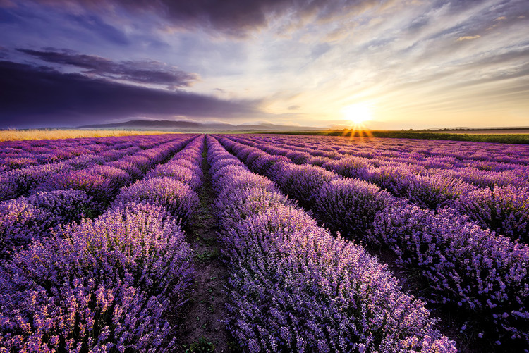 Lavendar Field Sunset Плакат