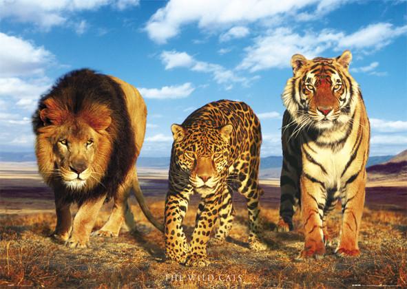 Wild cats Плакат