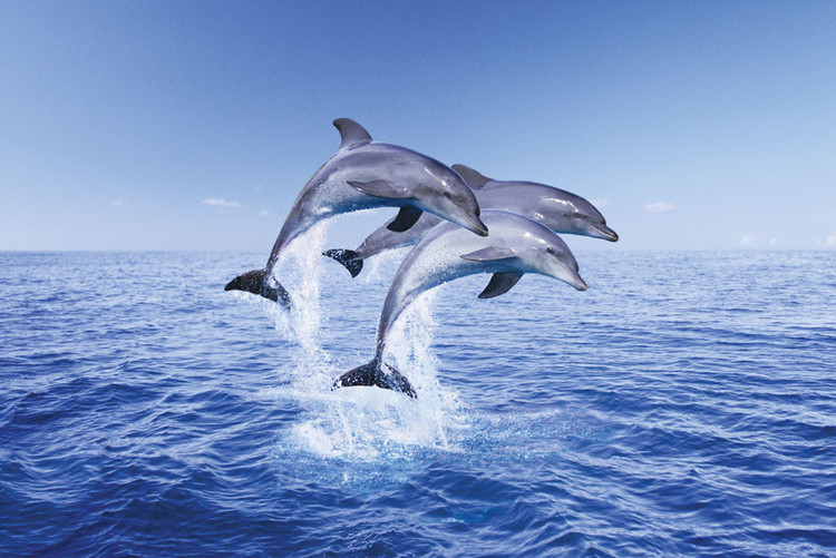 Delfíni trio плакат