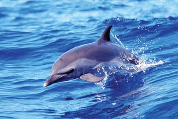 Dolphin - solo - плакат