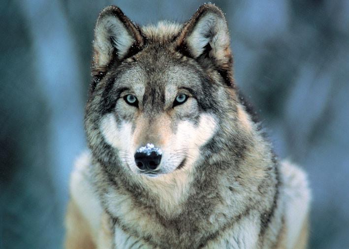 Grey wolf - плакат