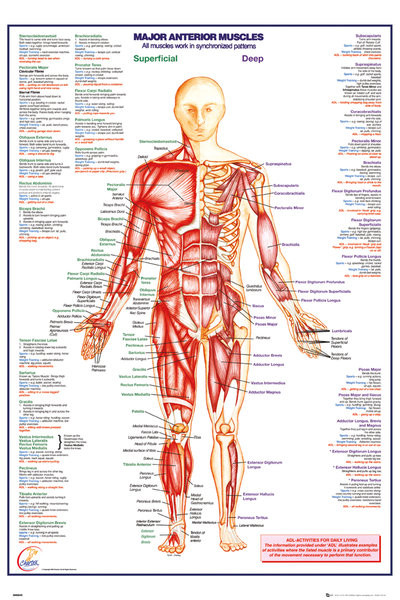 Human Body - Major Anterior Muscles - плакат