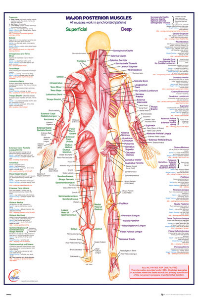 Human Body - Major Posterior Muscles - плакат