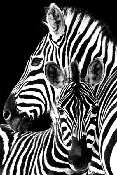 Zebra - плакат