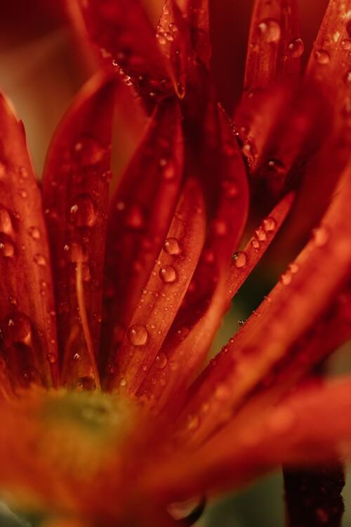художествена фотография Detail of red flowers 2