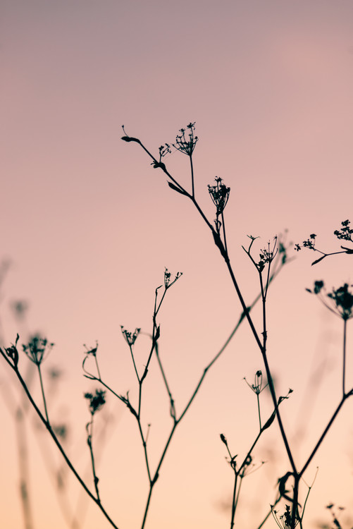 художествена фотография Dried plants on a pink sunset