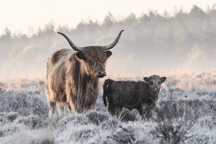 художествена фотография Highlander and Calf