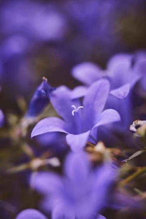 художествена фотография Lilac flowers at dusk