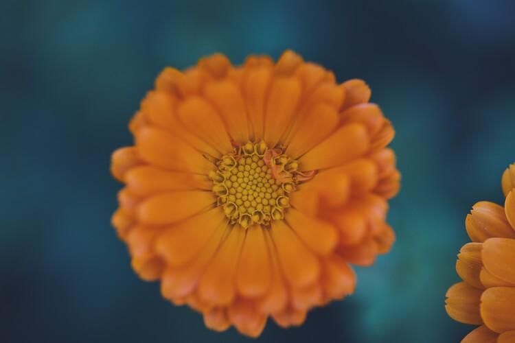 художествена фотография Orange flowers at dusk 1