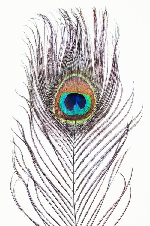 художествена фотография Peacock feather