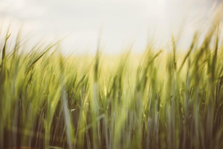 художествена фотография Young cereal fields