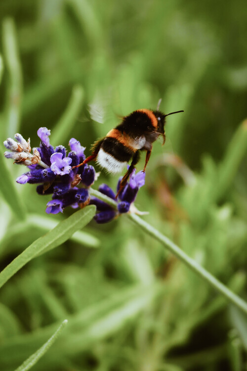 художествена фотография Bee buzzing