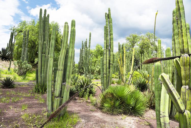 художествена фотография Cardon Cactus