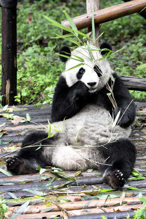 художествена фотография China 10MKm2 Collection - Giant Panda
