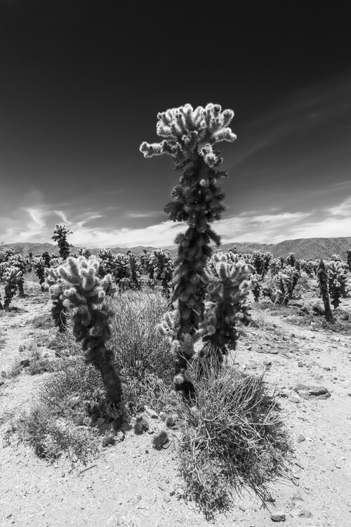 художествена фотография Cholla Cactus Garden, Joshua Tree National Park