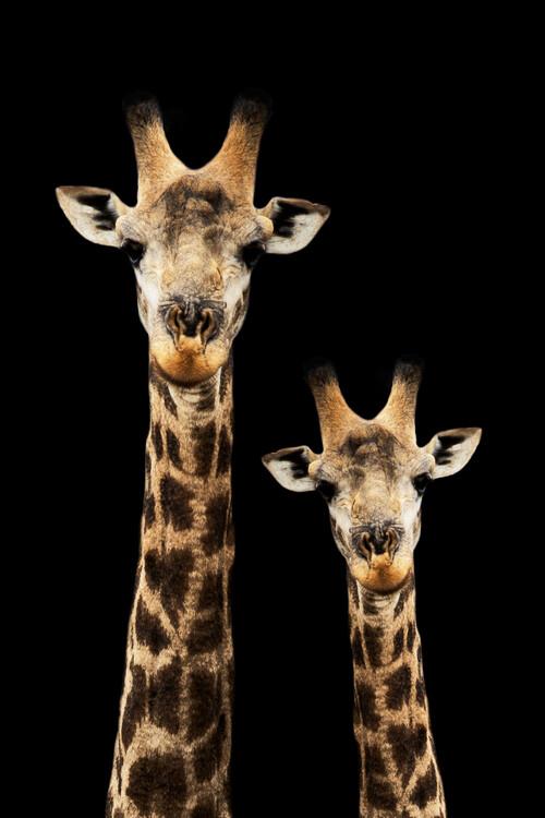 художествена фотография Portrait of Giraffe and Baby Black Edition