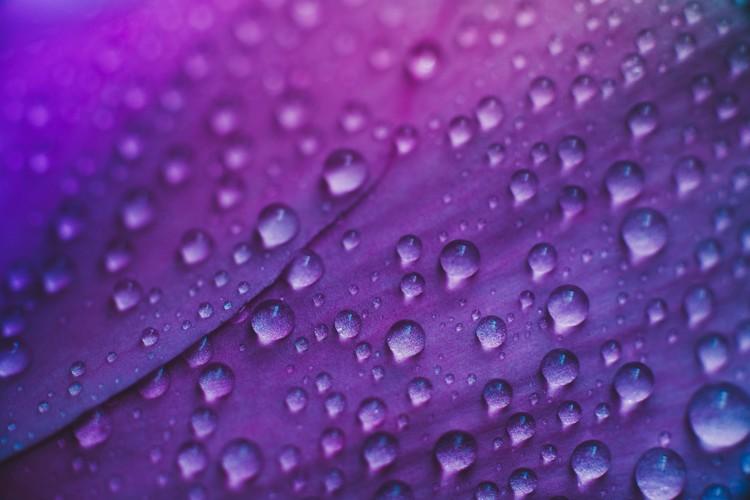 художествена фотография Raindrop on a lilac-rose flowers