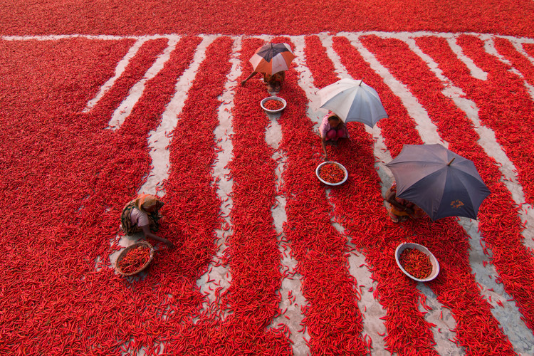 художествена фотография Red Chilies Pickers