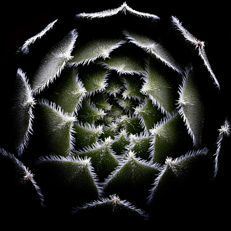 художествена фотография Sempervivum Rosette