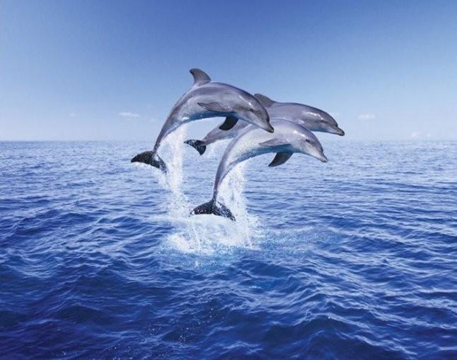 Plakát, Obraz - Dolphin trio, (50 x 40 cm)