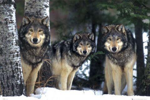 Plakát, Obraz - Wolves - 3 vlci, (91,5 x 61 cm)