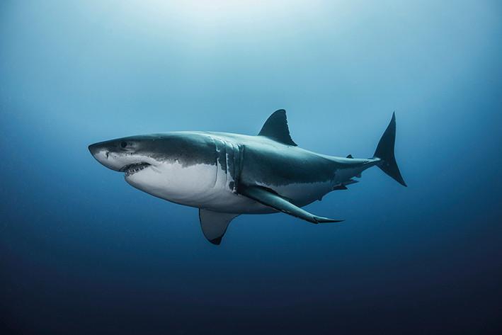 Plakát, Obraz - Žralok, (91,5 x 61 cm)