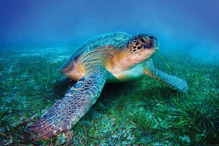 Plakát, Obraz - Mořská želva, (91,5 x 61 cm)