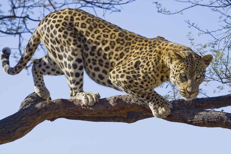 Fototapeta, Tapeta Leopard strom, (250 x 104 cm) 250x104 cm - 130g/m2 Vlies Non-Woven