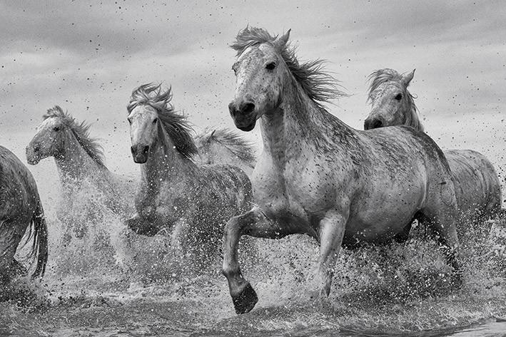 Plakát, Obraz - Koně - Camargue Horses, (91,5 x 61 cm)