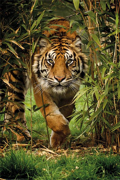 Plakát, Obraz - Tygr - Bamboo, (61 x 91,5 cm)