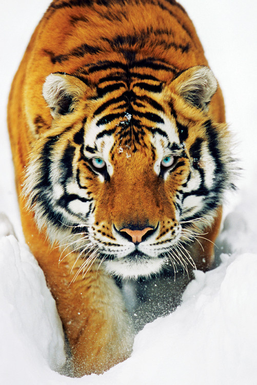 Plakát, Obraz - Tiger in the snow - tygr ve sněhu, (61 x 91,5 cm)