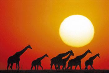 Giraffe sunset Poster