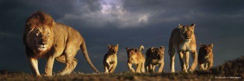 Lions pride - steve bloom Poster