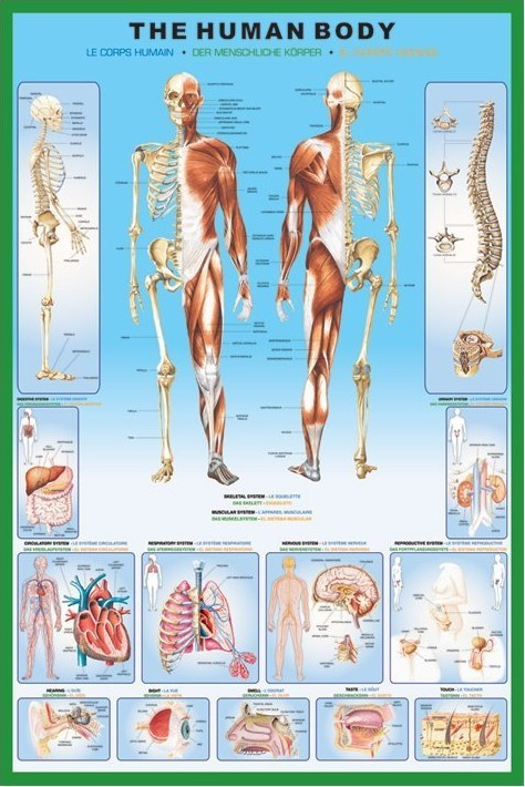 The human body Affiche